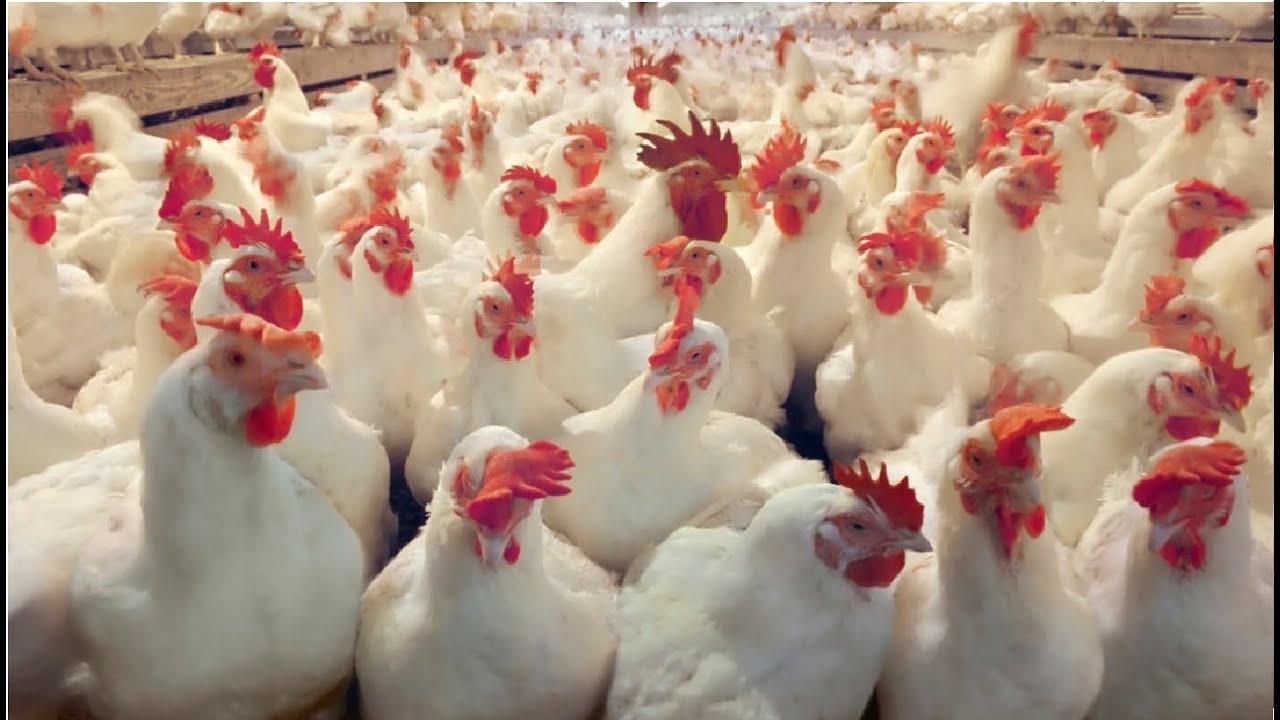 Jenis Ayam Yang Di Gunakan